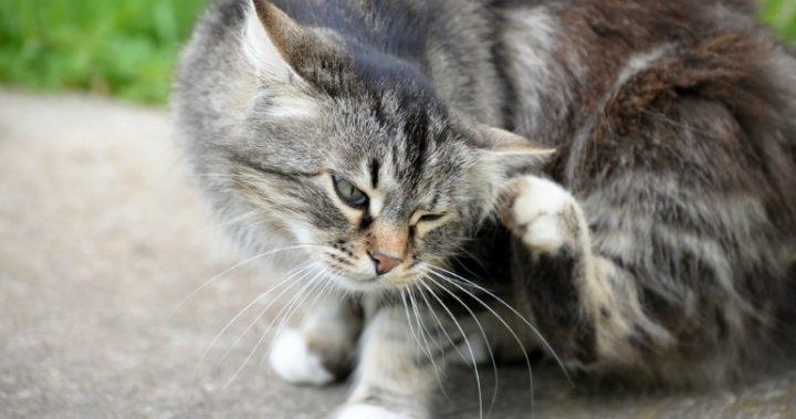 A popular flea treatment has been making cats sick