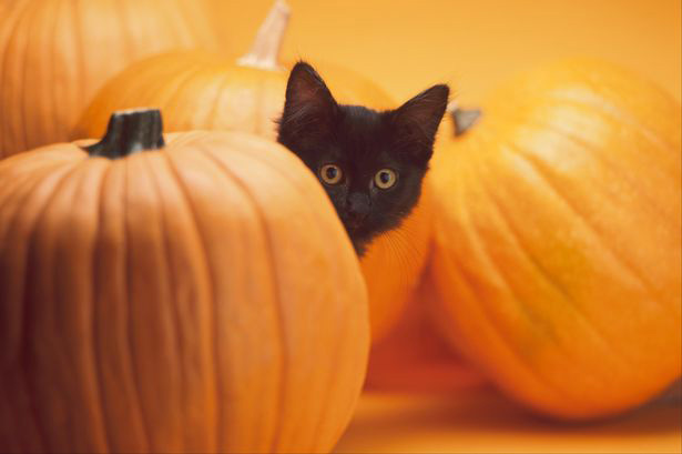black cat peeking out from behind halloween pumpkins