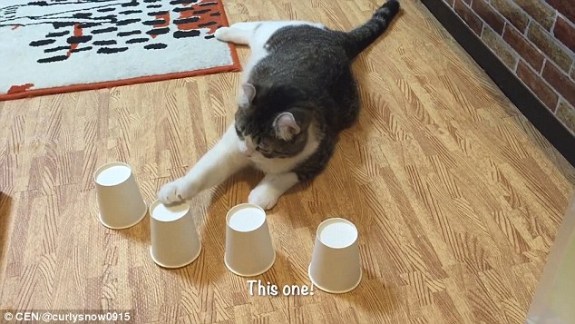 Clever claws! Cat shows off its amazing memory while playing cups game with its owner
