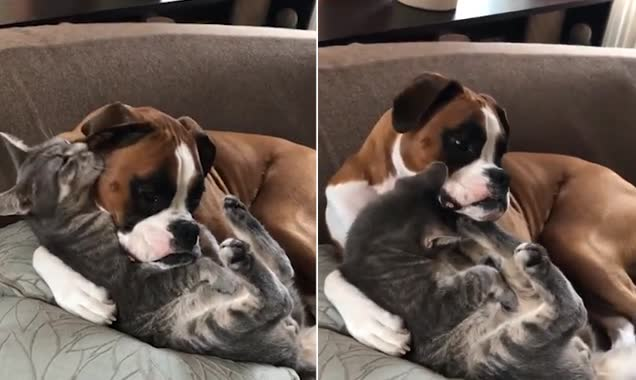 Opposites attract! Adorable boxer dog looks after tabby cat with its leg around it while the lovable feline licks the pooch clean