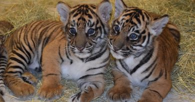 French couple trying to buy Savannah cat get tiger cub, instead
